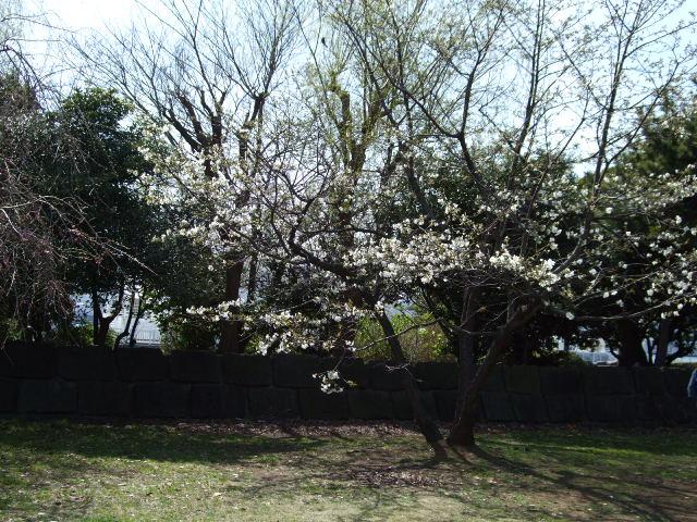 この桜の木の下でジンパをした